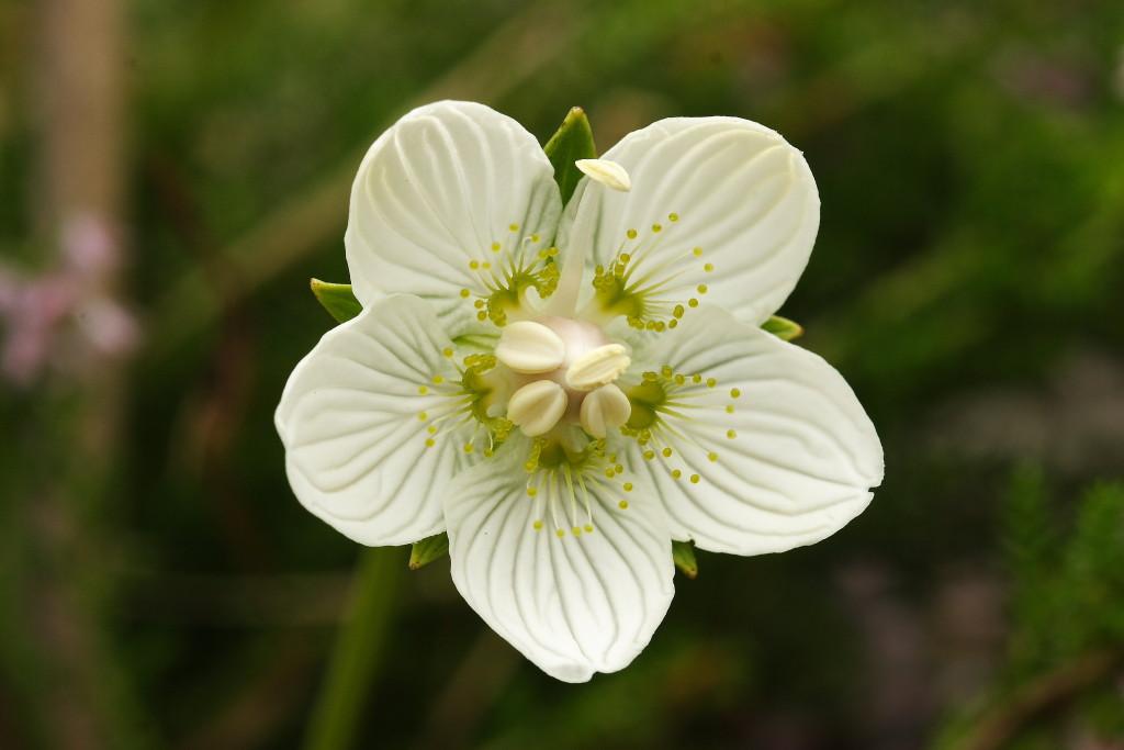 Purva atālenes zieds. Pilienveida dziedzeri atgādina medus lāses, ar viltu piesaistot apputeksnētājus no augšas. Taču īstais nektārs atrodas bedrītēs zieda pamatnē, un tas pievilina apputeksnētājus arī no sāna. Foto: Māra Pakalne